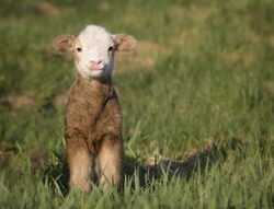 One day old Katahdin lamb ewe hair sheep, smiling for the camera.  Springtime in Wisconsin.