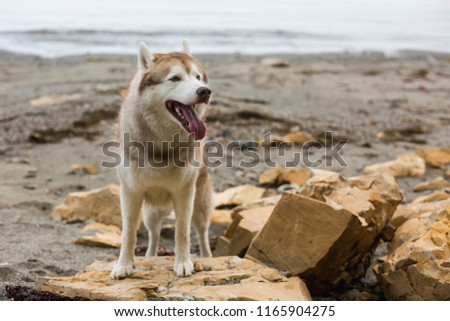 One day with gorgeous husky dog on the shore of the sea in summer. Image of cute Beige and white Siberian Husky dog standing on the rock at seaside #1165904275