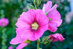 One delicate pink magenta flower of Althaea officinalis plant, commonly known as marsh-mallow in a British cottage style garden in a sunny summer day, beautiful outdoor floral background