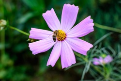 One delicate vivid pink flower of Cosmos plant in a British cottage style garden in a sunny summer day, beautiful outdoor floral background photographed with soft focus