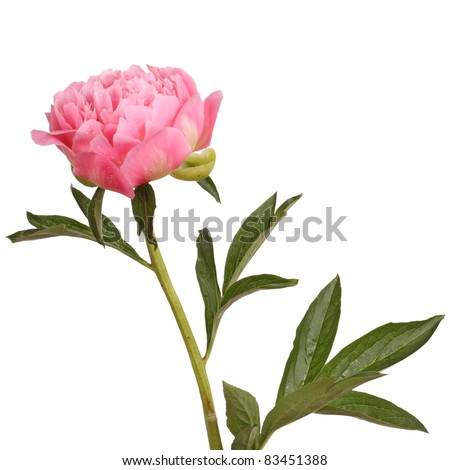 One double flower, stem and leaves of a a pink peony (Paeonia lactiflora) against a white background