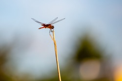 one dragonfly on tan reed of grass