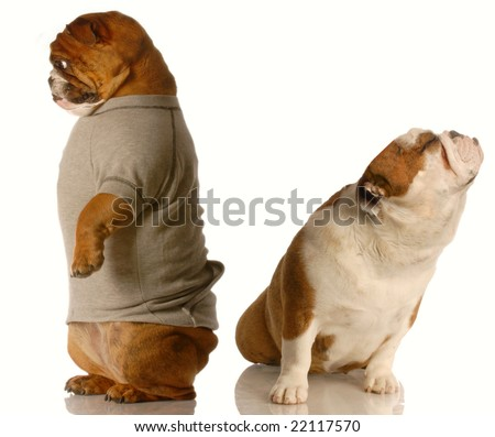 one english bulldog standing with his back to the other who is sitting with her nose up - as though in an argument