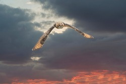 One Eurasian Eagle Owl or Eagle Owl. Flies with spread wings against a dramatic sky. Red eyes stare at you while he is hunting. Beautiful blue , white and red sky in the background. Composite photo