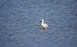 one eurasian spoonbill bird in the northsea in holland during winter