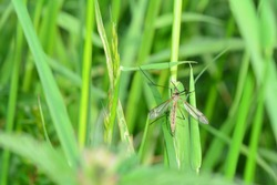 One european arsh Crane Fly   -  Big Schnake   (  Tipula oleracea  )  on blade of grass in green nature with copy space