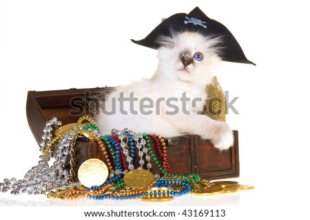 One eyed Birman kitten in pirate costume with treasure chest, on white background
