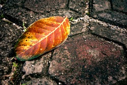 One fallen leaves on the ground of orange, yellow, brown color with little grass on the gravel, texture background. A close-up fall leave on the ground. Autumn fallen leave background.