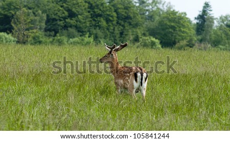One fallow deer ( Dama Dama) standing in high green grass
