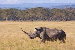 One female White Rhino with a very long horn at Lake Nakuru Kenya