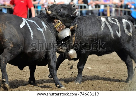One fighting cow attacks another with a telling blow to the throat in the Raron cow fighting championships. April 3, 2010 in Raron, Switzerland