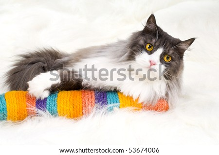 stock photo : one fluffy gray beautiful adult cat, lie on white fur ...
