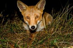one fox in pirineos spain