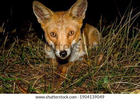 one fox in pirineos spain Foto stock ©