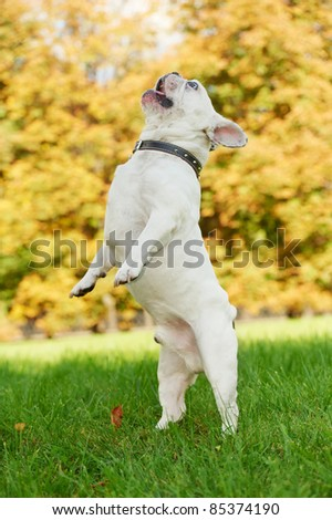 one french bulldog dog jumping on green grass at autumn background