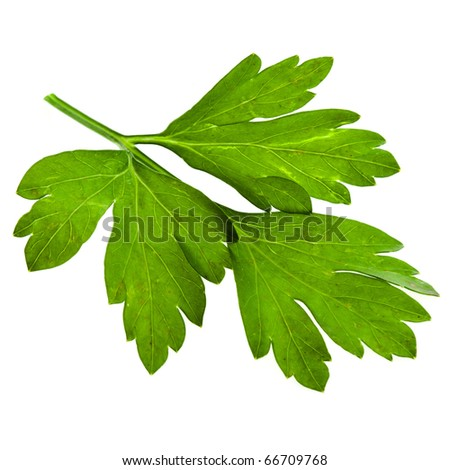 one fresh leaf herb parsley close up macro shot isolated on white background