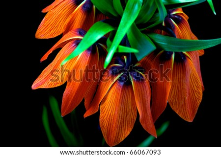 one fritillaria imperialis on black