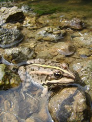 one frog sitting half merged in transparent water surrounded with wet rocks of similar grey, brown and green colors