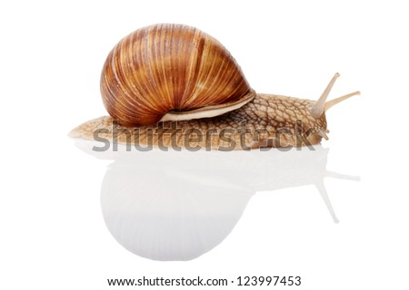 One Garden snail (Helix aspersa) with reflection isolated on white