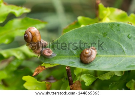One garden snail on top of another snail which is slowly sliding away. The snails are with operculums that attached on top of theirs foot and act as a lid or trap door.