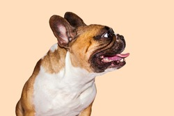 one ginger emotional french bulldog on brown background