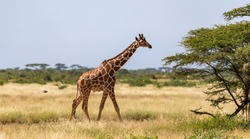 One giraffe walk through the savannah between the plants