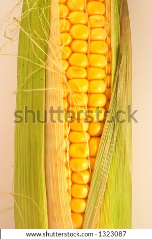 One golden corn on cob on white/light background, slightly opened, and fresh. Can be used in healthy food concept, or as ingredients for cooking. Golden colour is appealing.