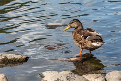 One gray and brown young wet adult duck with water jet from yellow nose and orange legs is standing in the pond in the park in summer