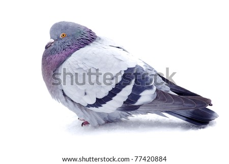 One gray pigeon isolated on white background