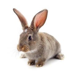 One gray rabbit isolated on a white background.