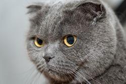 One gray scottish fold funny cat.