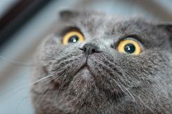 One gray scottish funny cat.