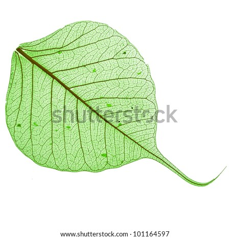 one green leaf bodhi surface , macro, isolated on white background