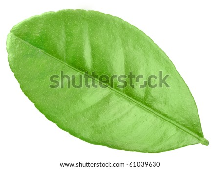 One green leaf of citrus-tree. Isolated on white background. Close-up. Studio photography.