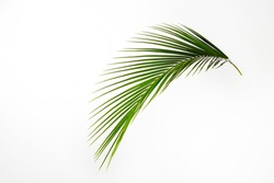 One green leaf of tropical coconut palm tree, isolated on white background. Minimalistic image of exotic plant with visible texture. Pollution free symbol. Close up, copy space.