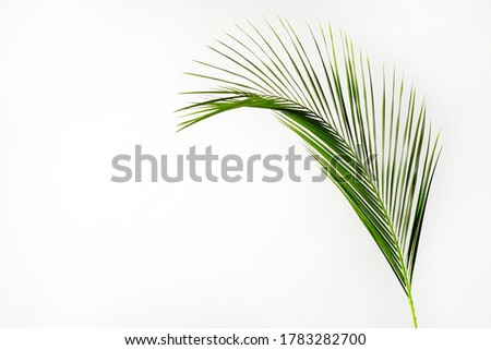 Photo of One green leaf of tropical coconut palm tree, isolated on white background. Minimalistic image of exotic plant with visible texture. Pollution free symbol. Close up, copy space.