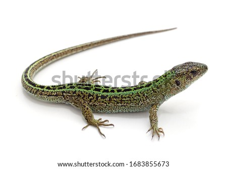 One green lizard isolated on a white background. Foto stock ©