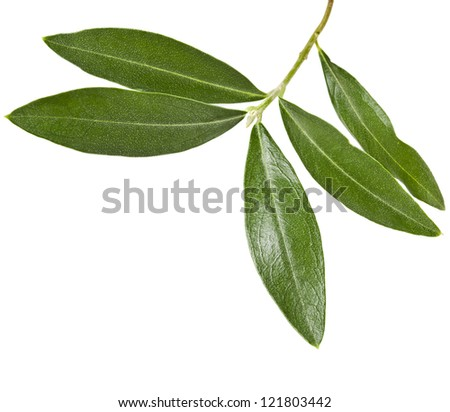 one green olive branch  close up macro shot isolated on white background