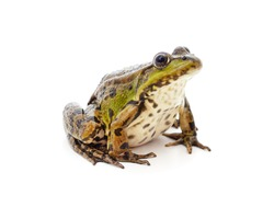 One green spotted frog isolated on a white background.