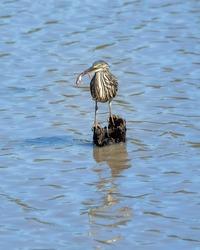 One greenbacked heron feeding in a lake