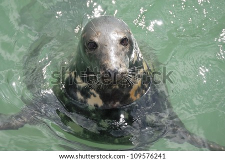 One Grey Seal looking. Located Newquay, Cornwall, UK.