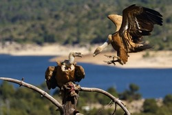One griffon vulture (Gyps fulvus) sitting on the branch and the other flies to the prey with colorful background. Vultures with lake and mountains in the background. Pair of vultures on the dry tree.