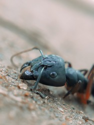 One hercules ant is looking for food but being tired it's resting on the ground in summer morning. A close-up left side view of a hercules ant. Selective focus on subject.