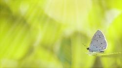 One holly blue butterfly roosting on a green leaf ready to fly, close-up side view with a blurred green tree background. Sun lights on blurred fairytale forest HD wallpaper. Selective soft focus.