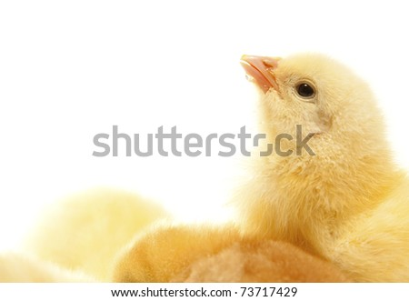 one isolated chicken drinking water