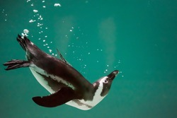 One isolated penguin swimming in water. African penguin. Spheniscus demersus. Cape penguin or South African penguin. Background, copy space.