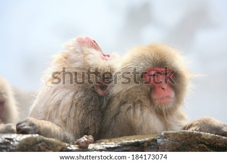 One Japanese macaque monkey leaning on another monkey while resting on rocks.