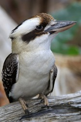 one kookaburra perched on a branch