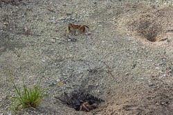 One land crab (Cardisoma carnifex) sits in its hole, and the second runs out of the hole and looks forward