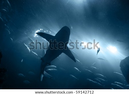 one large grey shark underwater seen from below silhouetted against bright lights
